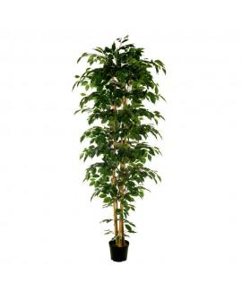 Árbol Ficus Nítida para exterior